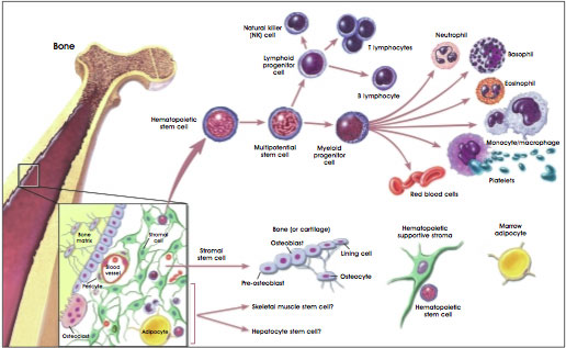 Hematopoietic stem cells