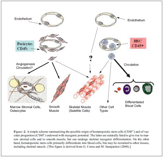 Mesoangioblasts