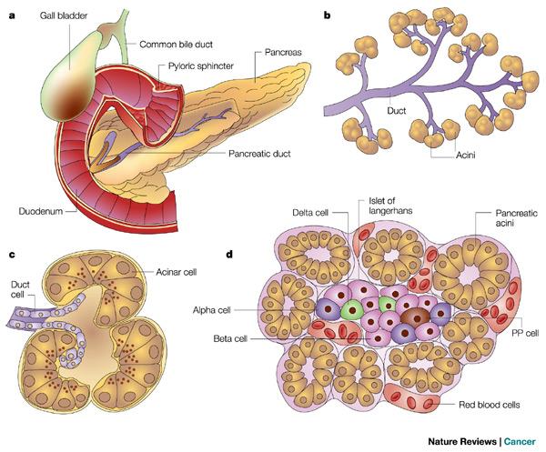 Pancreatic beta cells