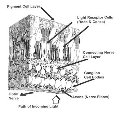 Pigmented Retina