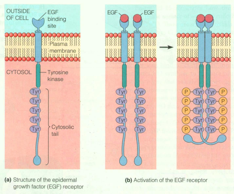 Tag Archives  receptor tyrosine kinasesTyrosine Kinase Structure