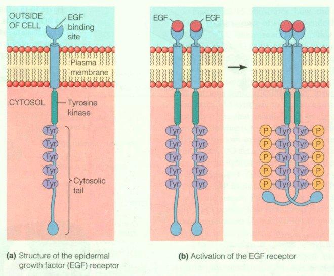 EGF activity