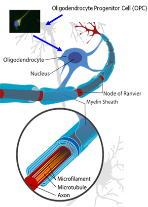 Oligodendrocyte-Progenitor-Cell-OPC