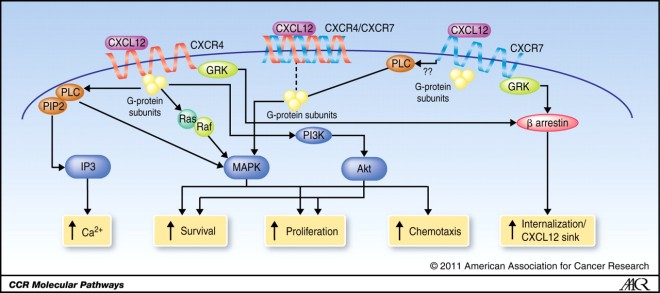 CXCL12 signaling pathways