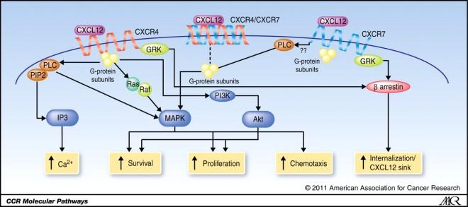 CXCL12 signaling pathways
