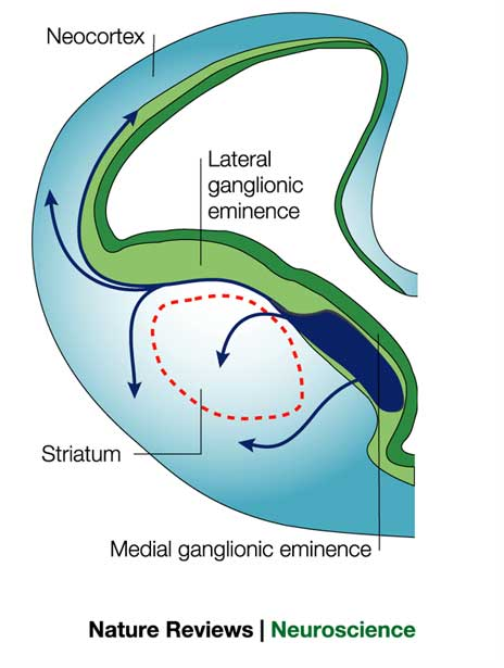 medial ganglionic eminence