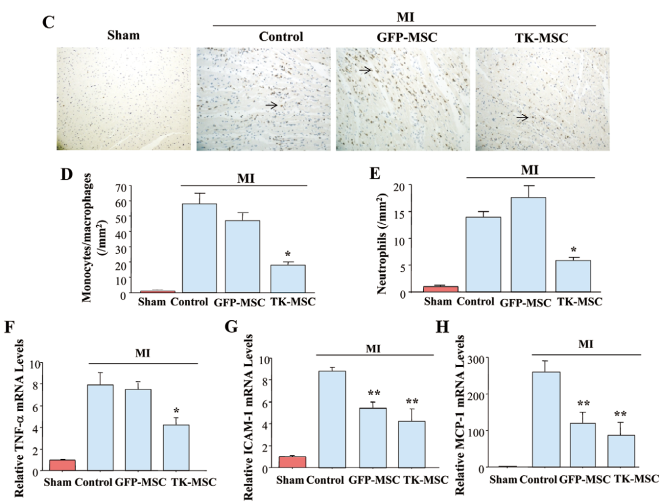 Reduced inflammation by TK-MSC administration was determined by (C) ED-1 immunohistochemical staining, (D) monocyte/macrophage quantification, (E) neutrophil quantification, and gene expression of (F) TNF-α, (G) ICAM-1, and (H) MCP-1. ED-1-positive cells are indicated by arrows. Original magnification, ×200. Data are mean ± SEM (n=5–8). *P<0.05 vs. other MI groups; **P<0.05 vs. MI/Control group. MSC, mesenchymal stem cell.