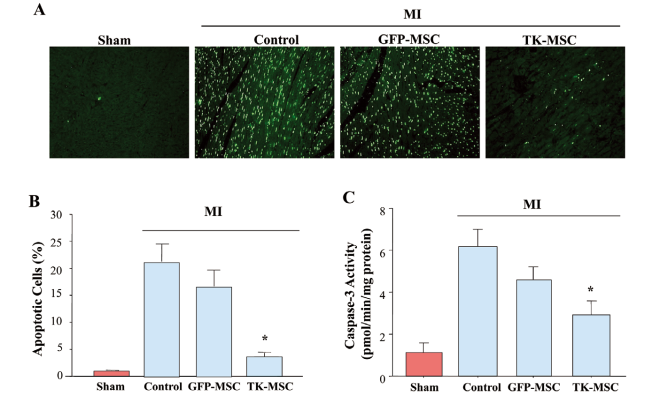 TK-MSCs protect against cardiac cell apoptosis at 1 day after myocardial infarction (MI) and in vitro. TK-MSC administration reduced apoptosis in the infarct area at 1 day after MI, as determined by (A) TUNEL staining, (B) quantification of apoptotic cells, and (C) caspase-3 activity. Original magnification, ×200. Data are mean ± SEM (n=5–8). *P<0.05 vs. other MI groups. Cultured cardiomyocytes treated with 0.5 ml of TK-MSC-conditioned medium exhibit higher tolerance to hypoxia-induced apoptosis, as evidenced by (D) Hoechst staining,