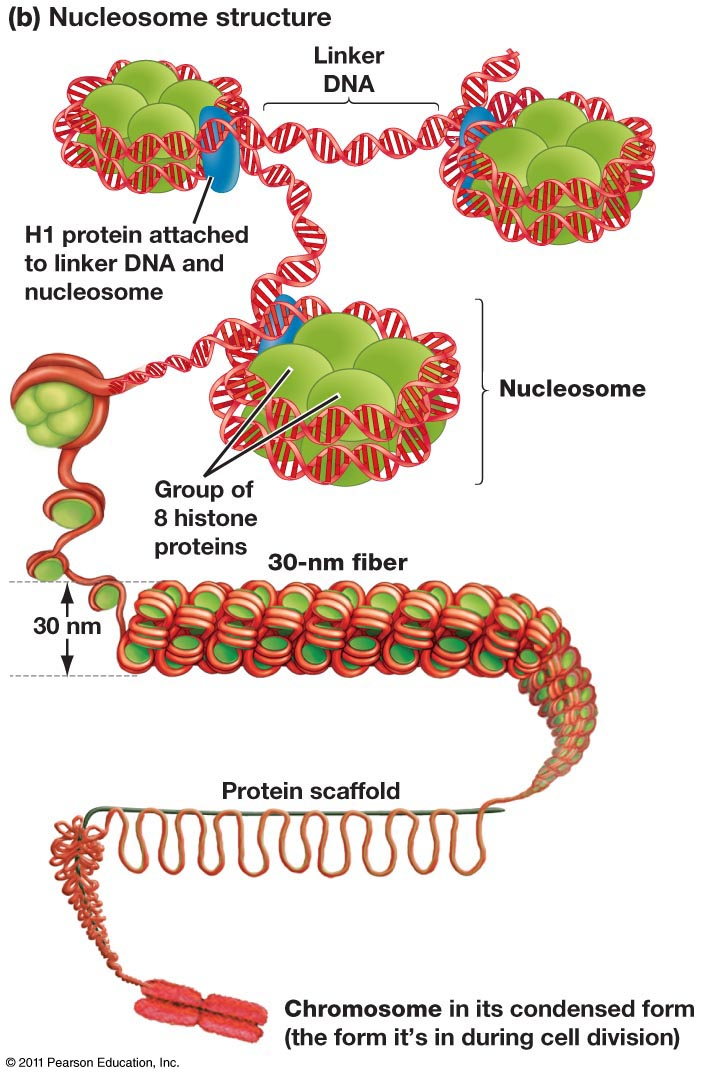 anchoring proteins eukaryotic chromosomes biology essay Cell biology a cell is chemical system that is able to maintain its structure  consists of both dna and protein - seen as chromosomes when highly condensed in preparation for cell.
