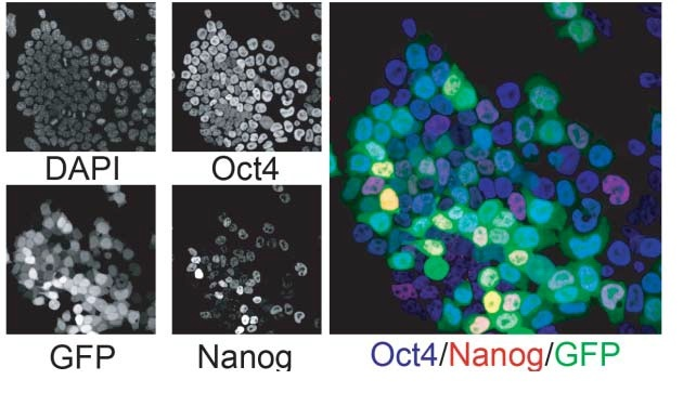 Immunofluorescence of TNG cells for Oct4 and Nanog. Individual signals from 4,6-diamidino-2-phenylindole (DAPI), GFP, anti-Oct4 and anti-Nanog are shown on the left alongside a combined view of GFP with the stainings from anti-Oct4 and anti-Nanog.