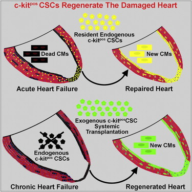 c-kit CSCs repair heart