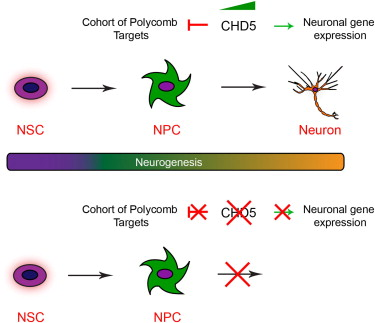 CHD5 function in stem cell differentiation