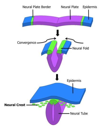 Neural_Crest