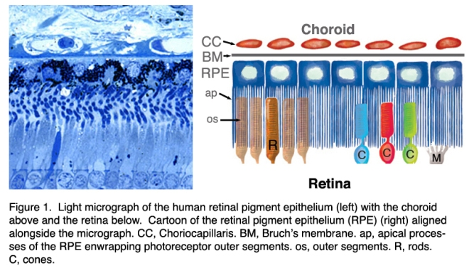 Retinal Pigmented Epithelium