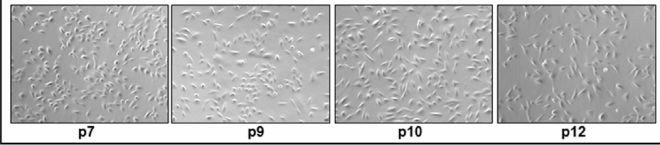 A single USC (inset) is followed through different passages (p0-p12). The cells were expanded to a colony were cultured in KSFM-EFM medium with 5% serum and images recorded with passage. Images shown at x100