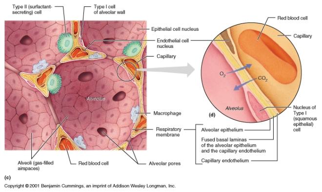 lung alveolus