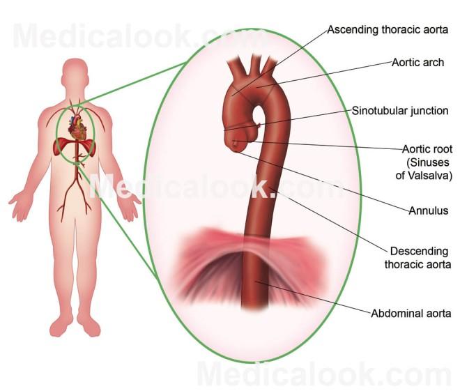 Aorta structure