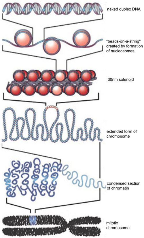 Quaternary Structure Of Dna histones – Beyond th...