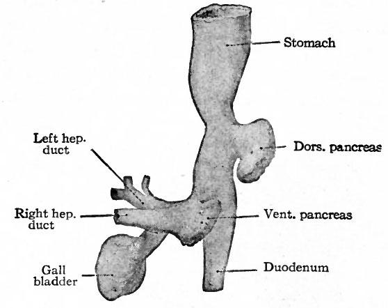 Pancreatic development