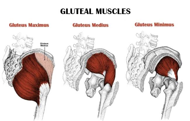 Gluteal Muscle Beyond The Dish