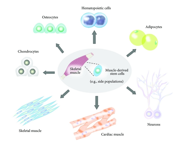 Muscle-derived stem cells