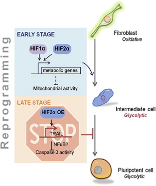 HIF function during reprogramming