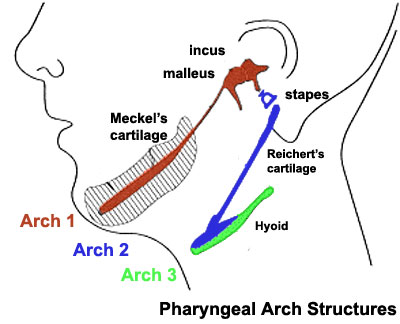 Pharyngeal_arch_cartilages