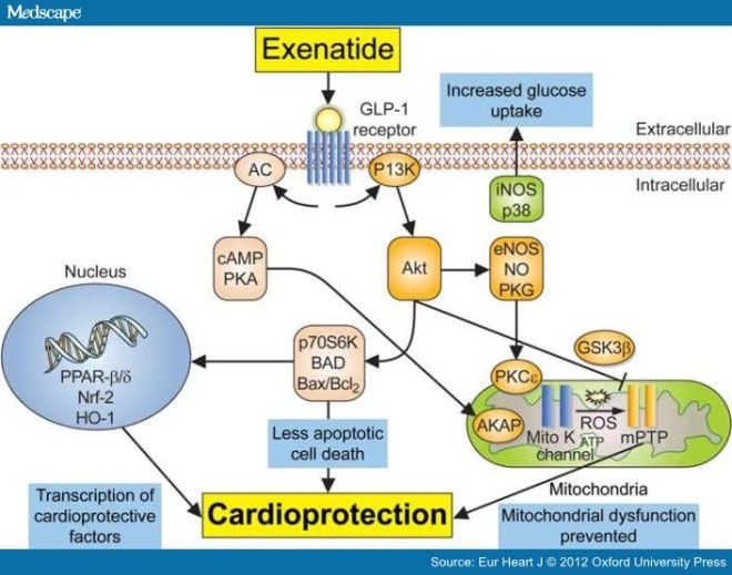 A scheme illustrating the potential cardioprotective signalling pathways through which exenatide may reduce myocardial infarct size and protect the heart against lethal myocardial reperfusion injury. The actual mechanism underlying the cardioprotective effects elicited by exenatide remains to be elucidated, although it is assumed that many of the beneficial effects are mediated through the activation of the glucagon-like peptide-1 (GLP-1) receptor on the cardiomyocytes. The activation of this receptor then recruits pro-survival signalling cascades such as the phosphatidylinositol 3-kinase (PI3K)–Akt and adenylate cyclase (AC)–cAMP–protein kinase A (PKA) pathways which protect the heart against acute ischaemia–reperfusion injury through a number of potential mechanisms including: the inhibition of the mitochondrial permeability transition pore (mPTP), the activation of AKAPs (protein kinase A-anchoring proteins), increased myocardial glucose uptake (possibly via p38 mitogen-activated protein kinase and iNOS), reduced apoptotic cell death, and the transcription of cardioprotective factors (such as PPAR-β/δ, Nrf-2, and HO-1). eNOS, endothelial nitric oxide synthase; GSK, glycogen synthase kinase; HO-1, haem oxygenase 1; iNOS, inducible nitric oxide synthase; NO, nitric oxide; Nrf-2, nuclear respiratory factor 2; PKC, protein kinase; PKG, protein kinase G; PPAR, peroxisome proliferator-activated receptor; ROS, reactive oxygen species.