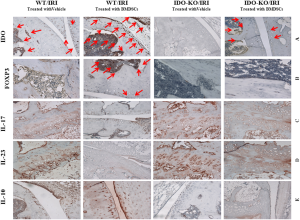 BMDScs can enhance IDO and regulatory T cells while reducing inflammatory cytokines in the hind limb IR injury. Immunohistochemical analysis of paraffin embedded tissues from murine model with IRI of hind limb showed that treating the animals with BMDSCs in an IDO sufficient microenvironment first: increased IDO and FOXP3 expression (panels A and B, red arrows), while decreased the inflammatory cytokines, IL-17 and IL-23 (panels C and D). Anti inflammatory cytokine, IL-10, was increased as demonstrated in panel E. All together, these analysis suggest a potential therapeutic role for BMDSCs, re-enforced by possible IDO dependent mechanisms. All pictures are 400X magnification
