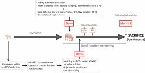 Amniotic Fluid Stem Cells Aid Kidney Transplantation in Porcine Model