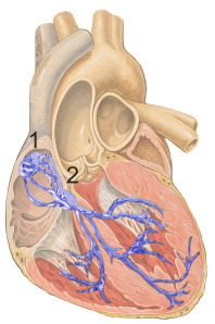 Heart Conducting System.  1) is the sinoatrial node or pacemaker and 2 is the atrioventricular node that receives the beat signal from the sinoatrial node and sends it to the ventricles.