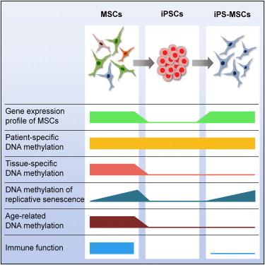 iPS-MSCs