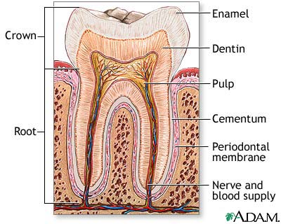 Structure_of_Tooth