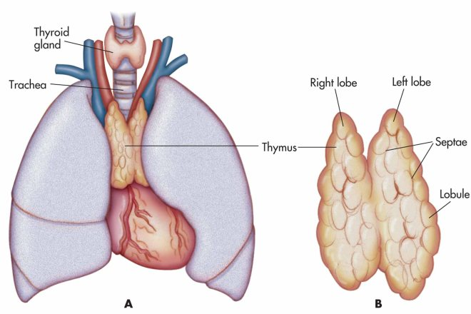 thymus location