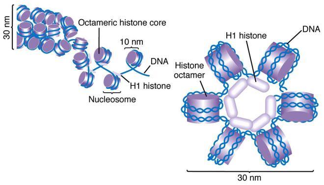 DNA solenoids
