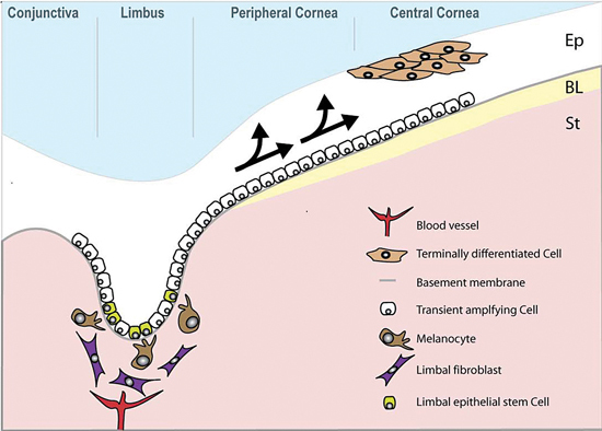 Limbal epithelial stem cells reside in the basal layer of the epithelium (Ep), which undulates at the limbus. Daughter transient amplifying cells (TACs) divide and migrate towards the central cornea (arrowed) to replenish the epithelium, which rests on Bowman's layer (BL). The stroma (St) of the limbal epithelial stem cell niche is populated with fibroblasts and melanocytes and also has a blood supply.