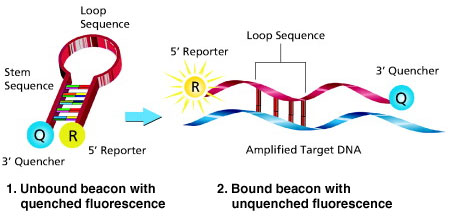 Molecular Beacons hybridize to their specific target sequence causing the hairpin-loop structure to open and separate the 5' end reporter from the 3' end quencher. As the quencher is no longer in proximity to the reporter, fluorescence emission takes place. The measured fluorescence signal is directly proportional to the amount of target DNA.