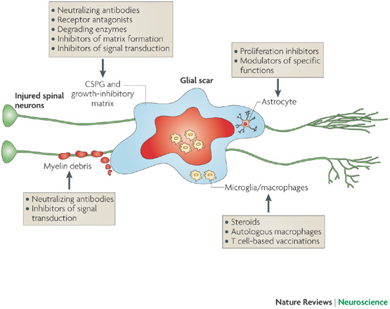 The major components of the site of injury include myelin debris, the scar-forming astrocytes, activated resident microglia and infiltrating blood-borne immune cells, chondroitin sulfate proteoglycans (CSPGs) and other growth-inhibitory matrix components. All of them are potential targets for therapeutic intervention. Many of the interventions can be optimized by considering the beneficial aspects of the scar tissue and fine-tuning the optimal time window for their application. Each target and the strategies directed at its modulation are shown.
