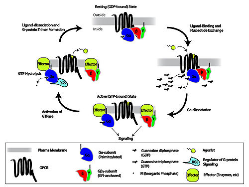 G protein coupled receptor cycle