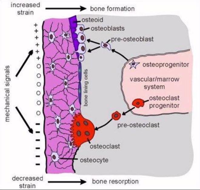 Bone deposition