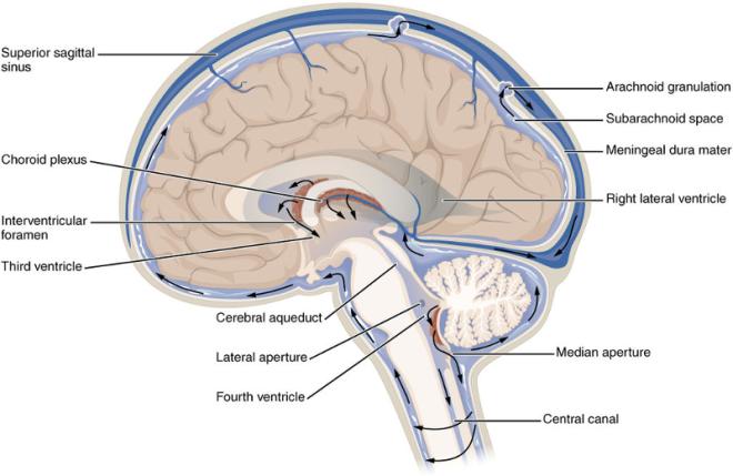 cerebrospinal-fluid-brain-flow