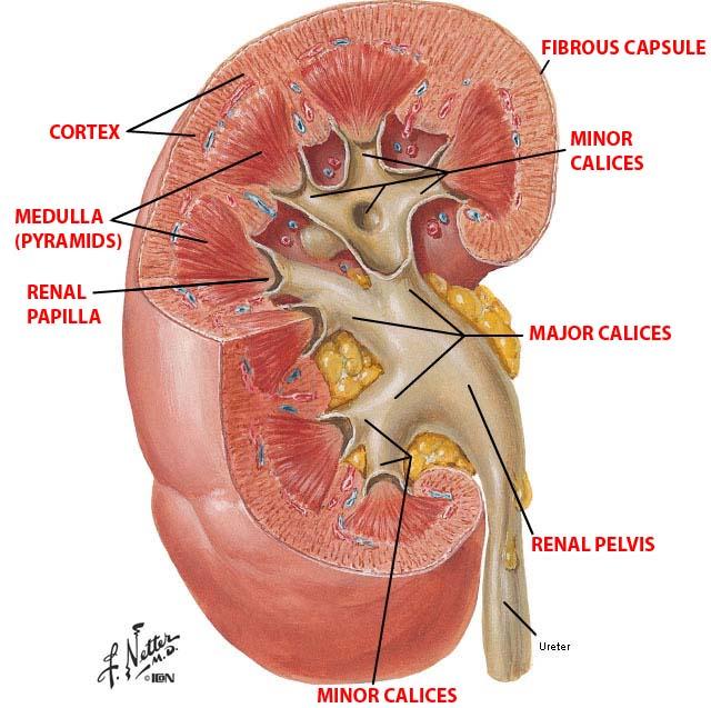 Kidney Capsule