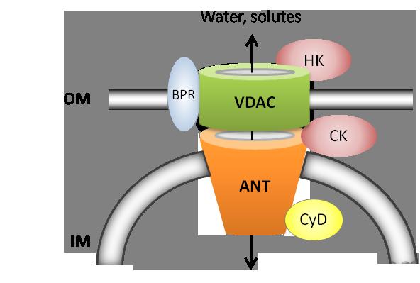 mitochondrial permeability transition pore
