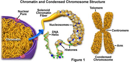 chromatin+structure