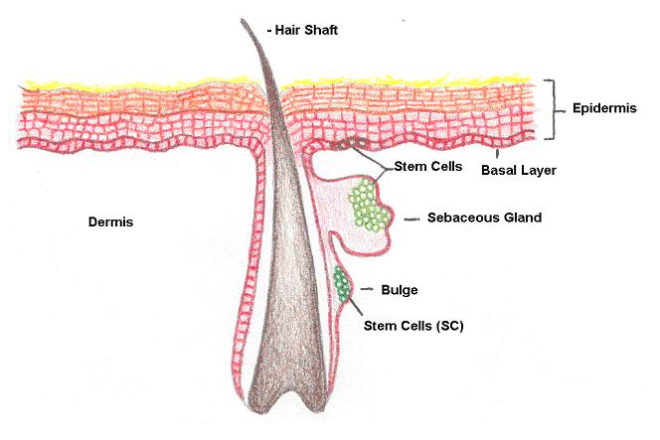 hair-stem-cells