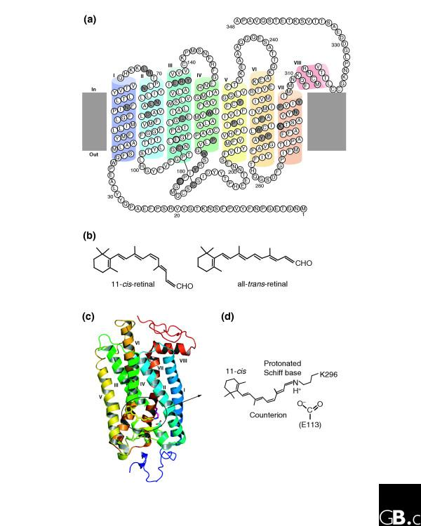 Structures of opsins and of the chromophore retinal. (a) A model of the secondary structure of bovine rhodopsin. Amino-acid residues that are highly conserved in the whole opsin family are shown with a gray background. The retinal-binding site (K296) and the counterion position (E113) are marked with bold circles, as is E181, the counterion in opsins other than the vertebrate visual and non-visual ones. C110 and C187 form a disulfide bond. (b) The chemical structures of the 11-cis and all-trans forms of retinal. (c) The crystal structure of bovine rhodopsin (Protein DataBank ID: 1U19 [PDB:1U19]). The chromophore 11-cis-retinal, K296 and E113 are shown in stick representation in the ringed area. (d) The structure of the Schiff base linkage formed by retinal within the bovine opsin, together with the counterion that stabilizes it.