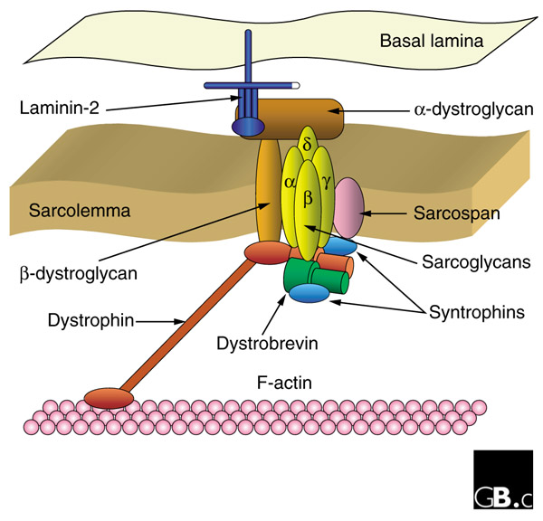 Current research on muscular dystrophy