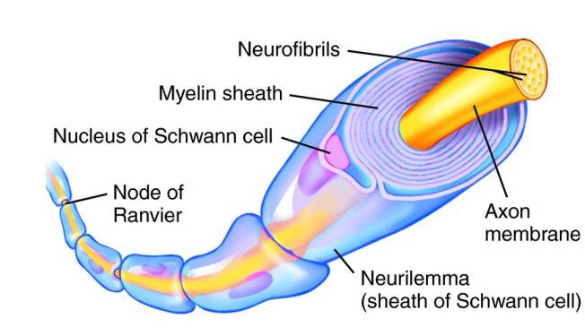 myelin_sheath
