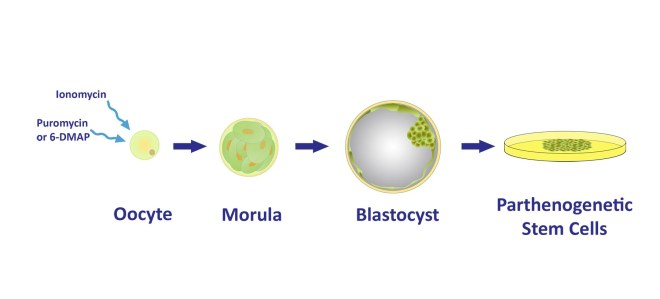The stem cells are created by chemically stimulating the oocytes (eggs) to begin division.  The oocytes are not fertilized and no viable embryo is created or destroyed.