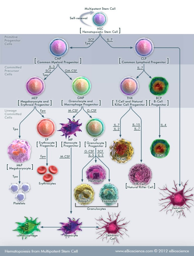 hematopoiesis-from-multipotent-stem-cell